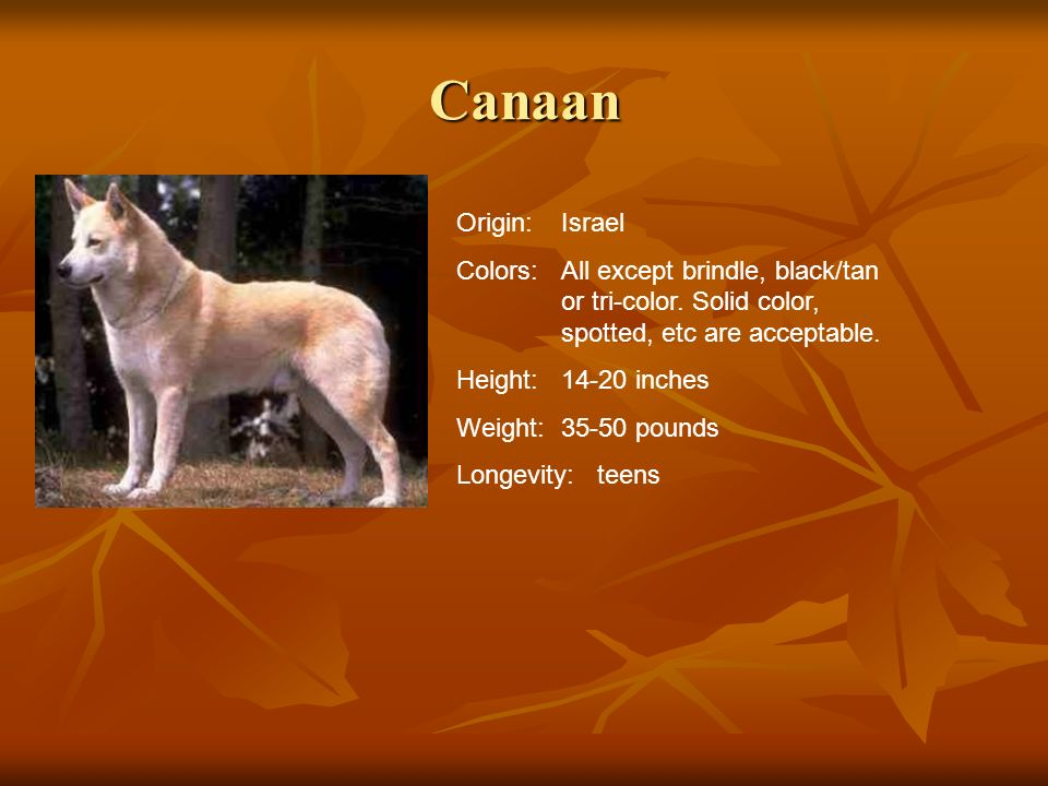 Canaan Origin:Israel Colors:All except brindle, black/tan or tri-color. Solid color, spotted, etc are acceptable. Height:14-20 inches Weight:35-50 pou