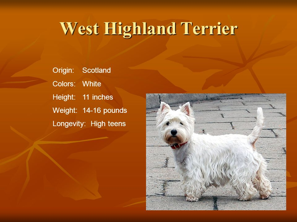 West Highland Terrier Origin:Scotland Colors:White Height:11 inches Weight:14-16 pounds Longevity: High teens