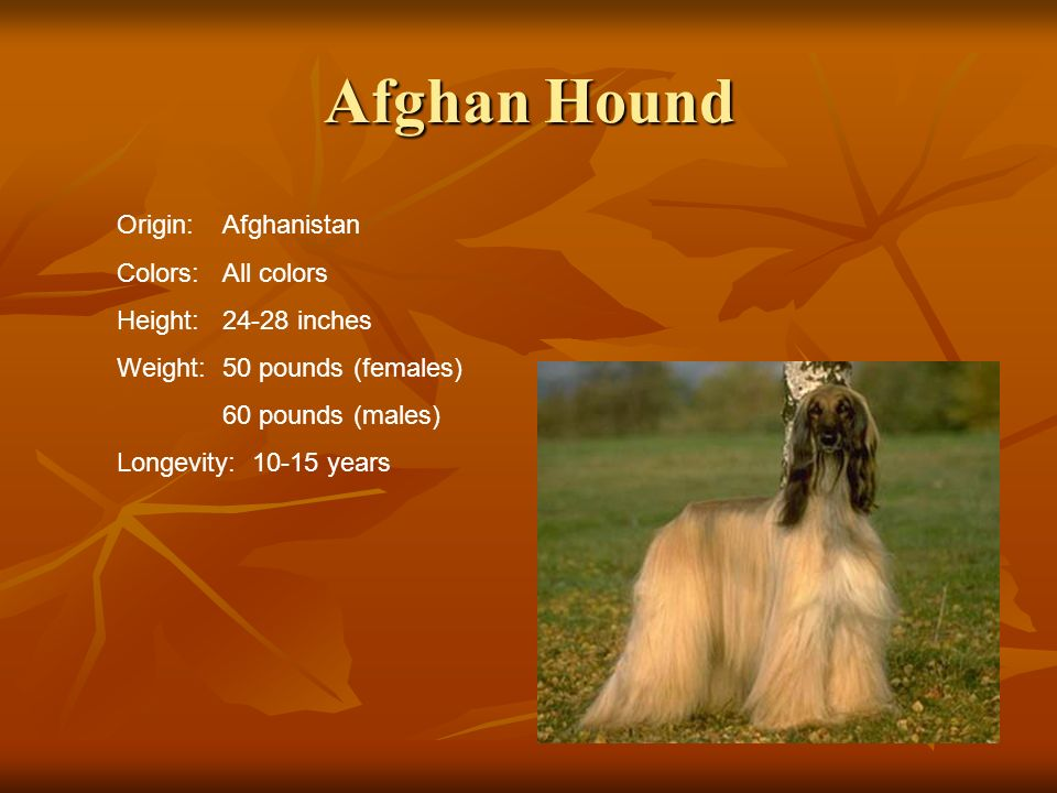 Afghan Hound Origin:Afghanistan Colors:All colors Height:24-28 inches Weight:50 pounds (females) 60 pounds (males) Longevity: 10-15 years