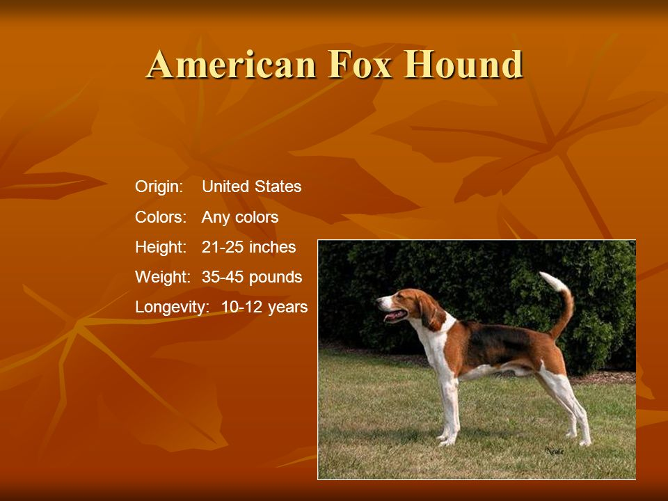 American Fox Hound Origin:United States Colors:Any colors Height:21-25 inches Weight:35-45 pounds Longevity: 10-12 years