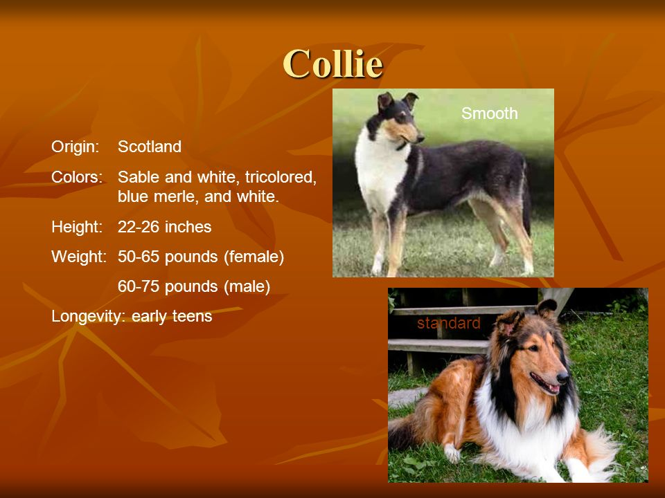 Collie Origin:Scotland Colors:Sable and white, tricolored, blue merle, and white. Height:22-26 inches Weight:50-65 pounds (female) 60-75 pounds (male)
