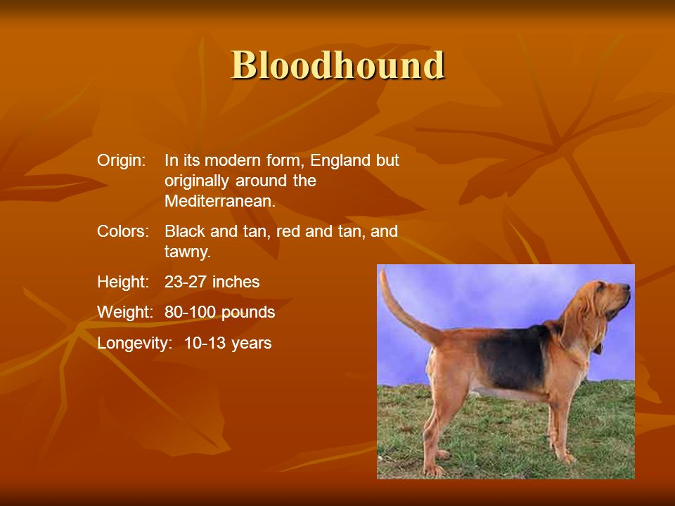 Bloodhound Origin:In its modern form, England but originally around the Mediterranean. Colors:Black and tan, red and tan, and tawny. Height:23-27 inch