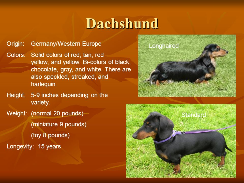 Dachshund Origin:Germany/Western Europe Colors:Solid colors of red, tan, red yellow, and yellow. Bi-colors of black, chocolate, gray, and white. There