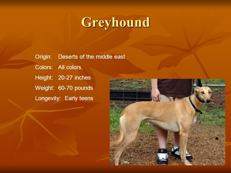 Greyhound Origin: Deserts of the middle east Colors:All colors. Height:20-27 inches Weight:60-70 pounds Longevity: Early teens