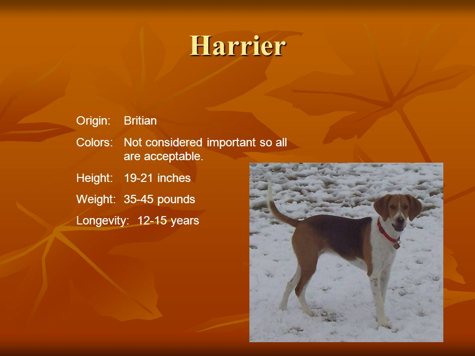 Harrier Origin:Britian Colors:Not considered important so all are acceptable. Height:19-21 inches Weight:35-45 pounds Longevity: 12-15 years