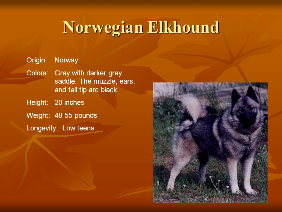 Norwegian Elkhound Origin:Norway Colors:Gray with darker gray saddle. The muzzle, ears, and tail tip are black. Height:20 inches Weight:48-55 pounds L