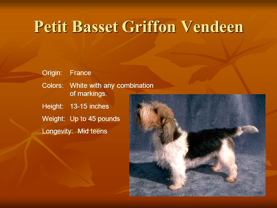 Petit Basset Griffon Vendeen Origin:France Colors:White with any combination of markings. Height:13-15 inches Weight:Up to 45 pounds Longevity: Mid te