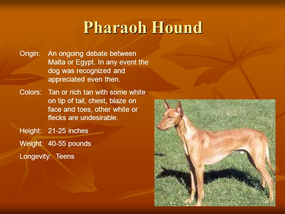 Pharaoh Hound Origin:An ongoing debate between Malta or Egypt. In any event the dog was recognized and appreciated even then. Colors:Tan or rich tan w
