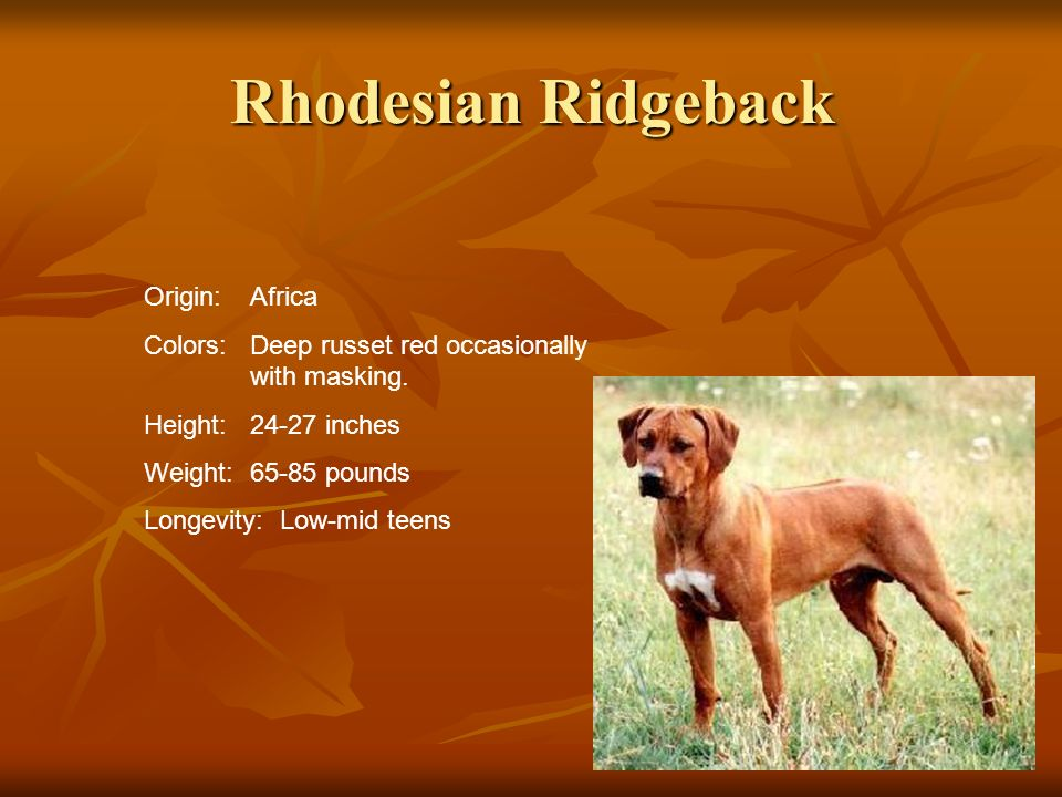 Rhodesian Ridgeback Origin:Africa Colors:Deep russet red occasionally with masking. Height:24-27 inches Weight:65-85 pounds Longevity: Low-mid teens