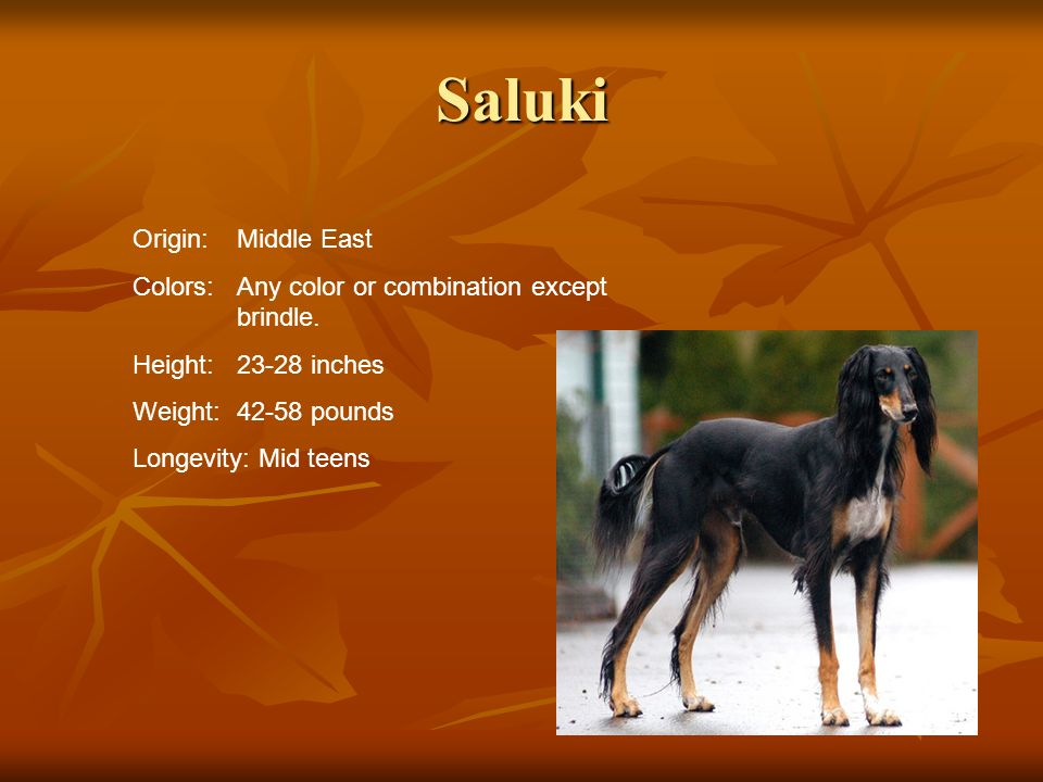 Saluki Origin:Middle East Colors:Any color or combination except brindle. Height:23-28 inches Weight:42-58 pounds Longevity: Mid teens