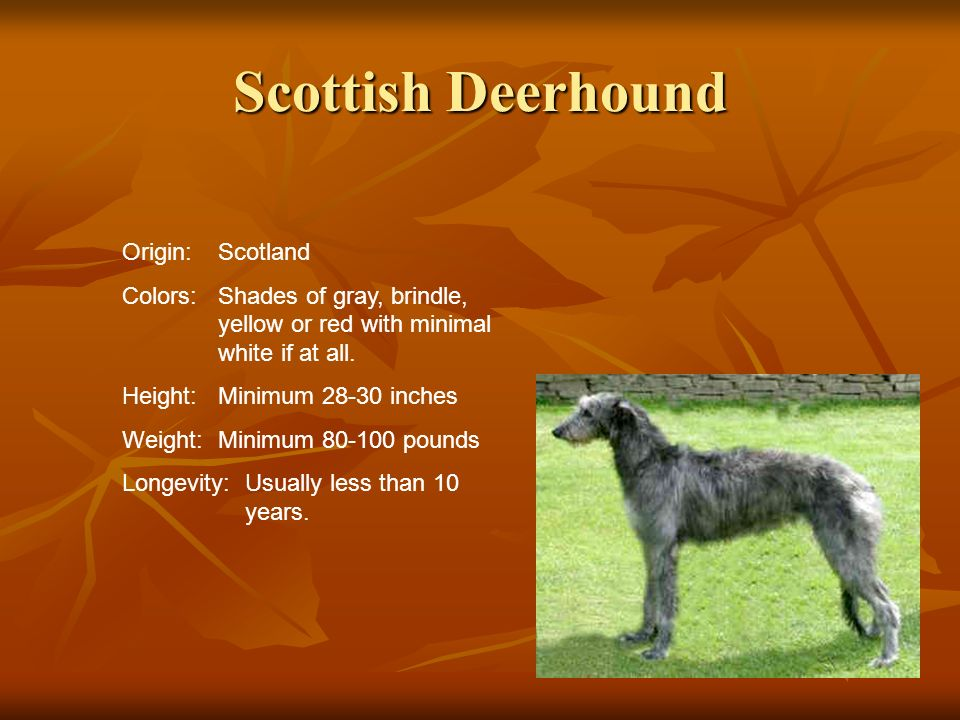 Scottish Deerhound Origin:Scotland Colors:Shades of gray, brindle, yellow or red with minimal white if at all. Height:Minimum 28-30 inches Weight:Mini