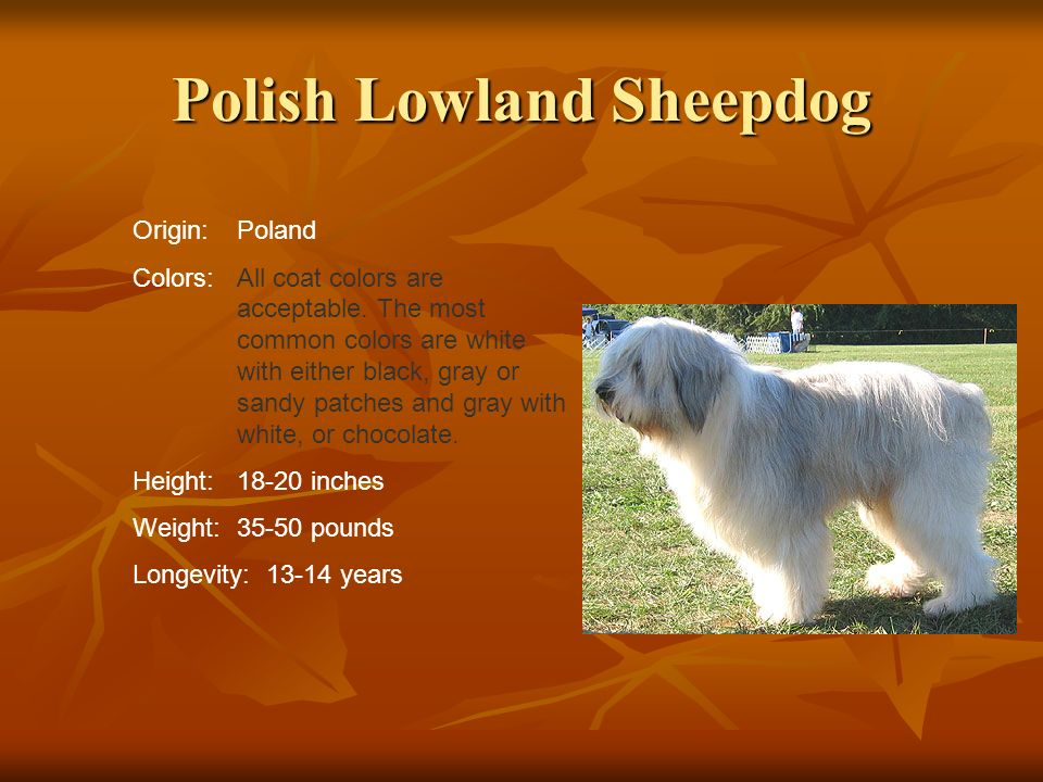 Polish Lowland Sheepdog Origin:Poland Colors:All coat colors are acceptable. The most common colors are white with either black, gray or sandy patches