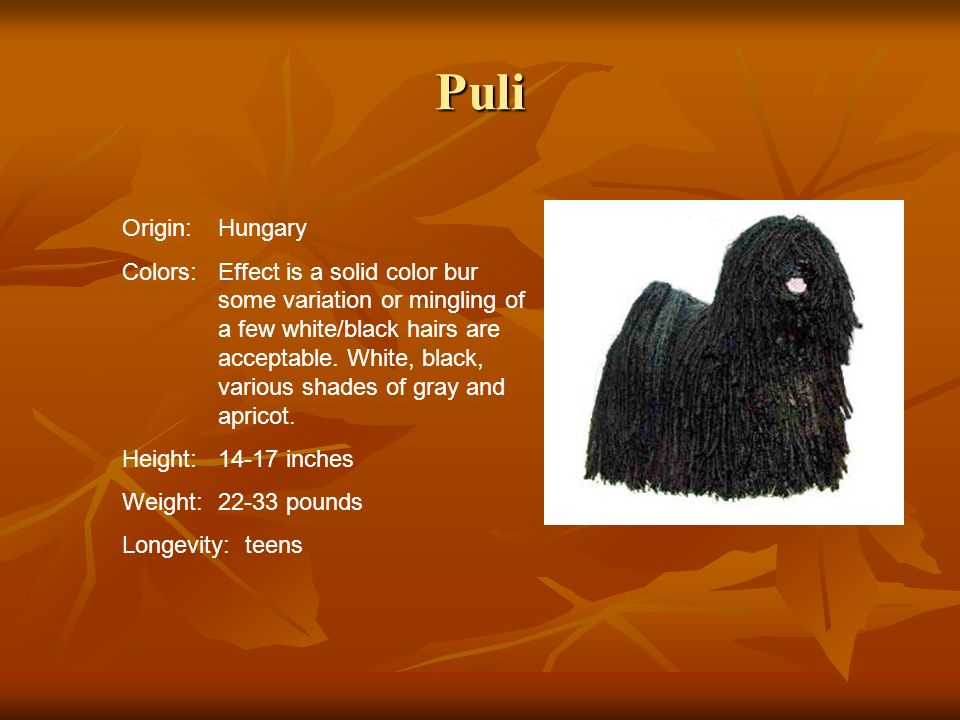 Puli Origin:Hungary Colors:Effect is a solid color bur some variation or mingling of a few white/black hairs are acceptable. White, black, various sha
