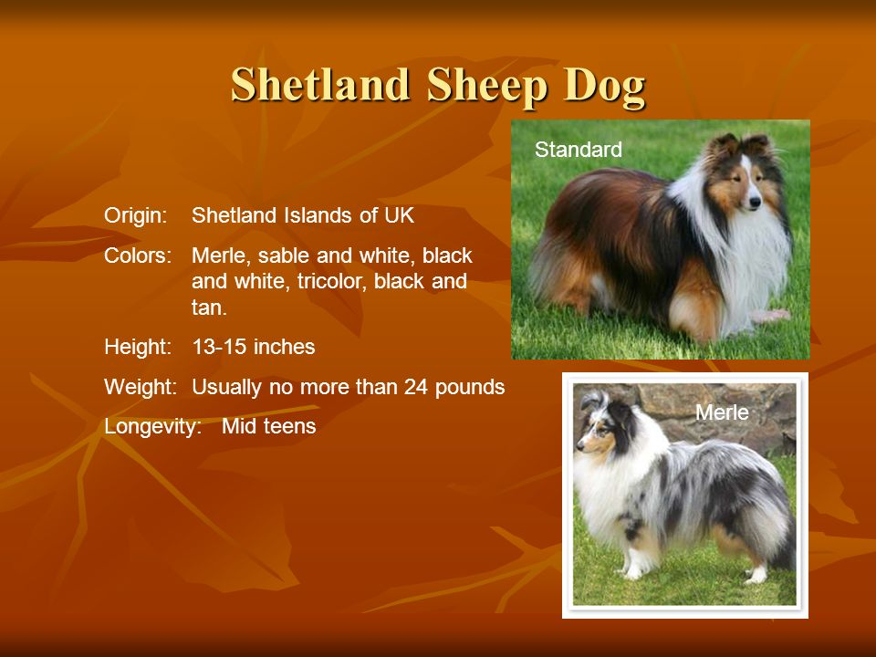 Shetland Sheep Dog Origin:Shetland Islands of UK Colors:Merle, sable and white, black and white, tricolor, black and tan. Height:13-15 inches Weight:U