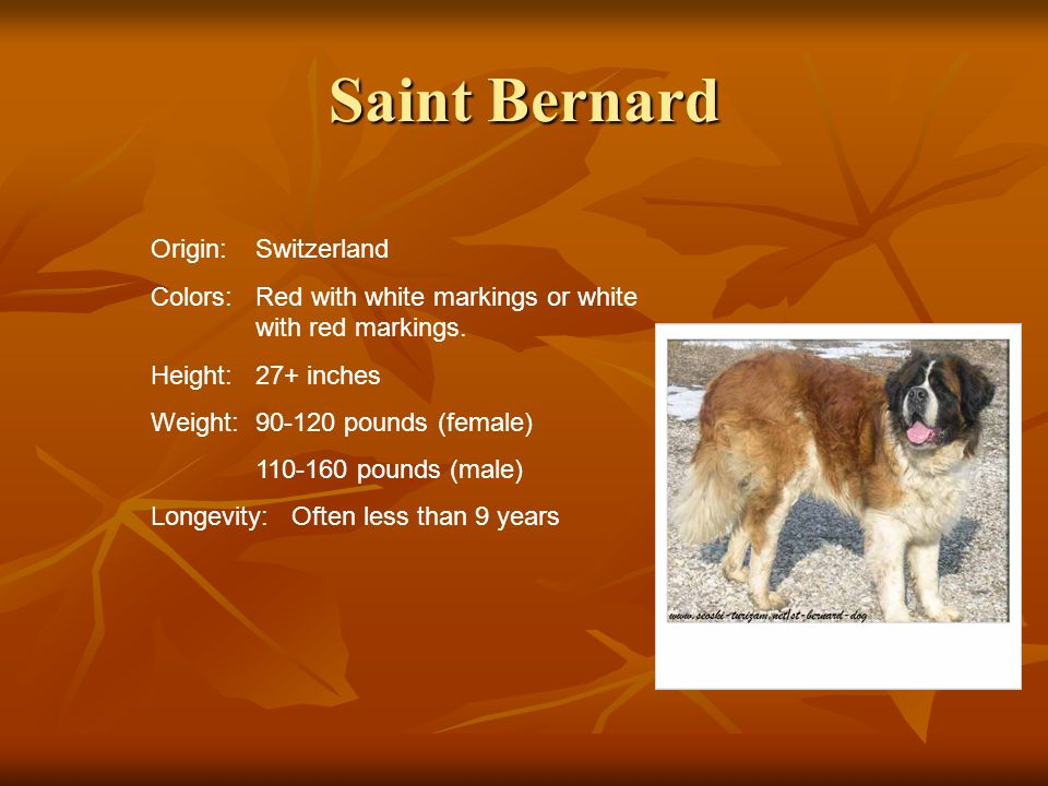 Saint Bernard Origin:Switzerland Colors:Red with white markings or white with red markings. Height:27+ inches Weight:90-120 pounds (female) 110-160 po