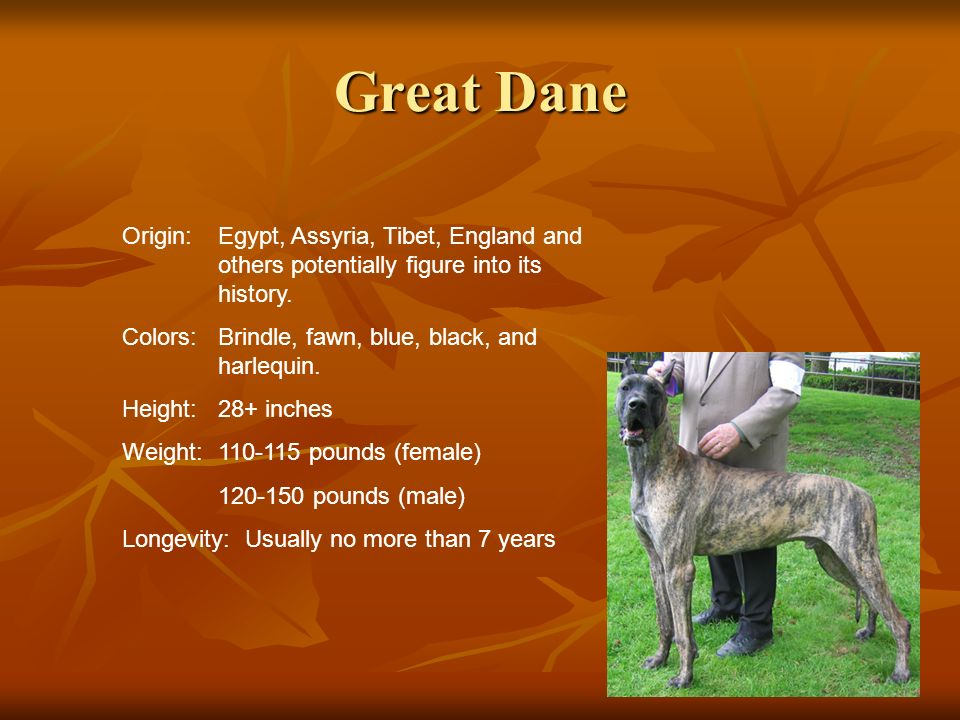 Great Dane Origin:Egypt, Assyria, Tibet, England and others potentially figure into its history. Colors:Brindle, fawn, blue, black, and harlequin. Hei