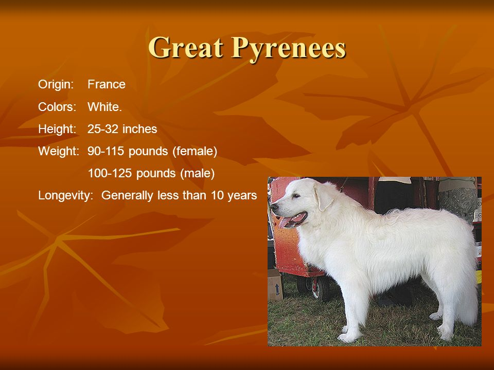 Great Pyrenees Origin:France Colors:White. Height:25-32 inches Weight:90-115 pounds (female) 100-125 pounds (male) Longevity: Generally less than 10 y