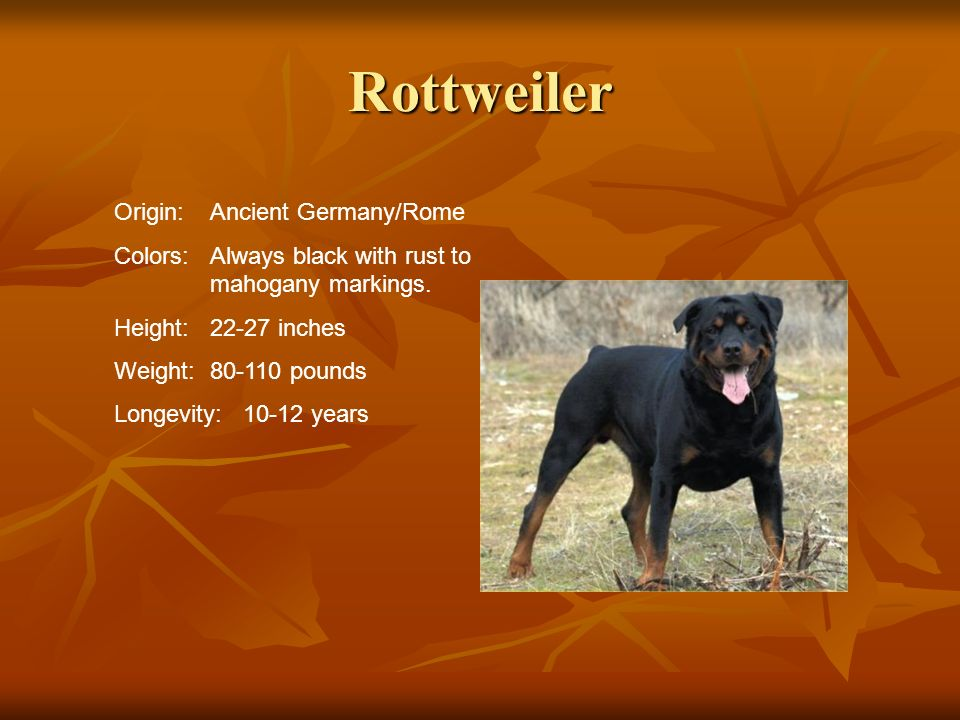 Rottweiler Origin:Ancient Germany/Rome Colors:Always black with rust to mahogany markings. Height:22-27 inches Weight:80-110 pounds Longevity: 10-12 y