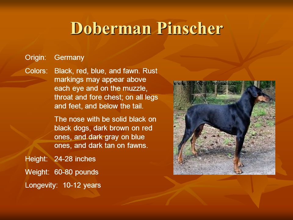 Doberman Pinscher Origin:Germany Colors:Black, red, blue, and fawn. Rust markings may appear above each eye and on the muzzle, throat and fore chest;
