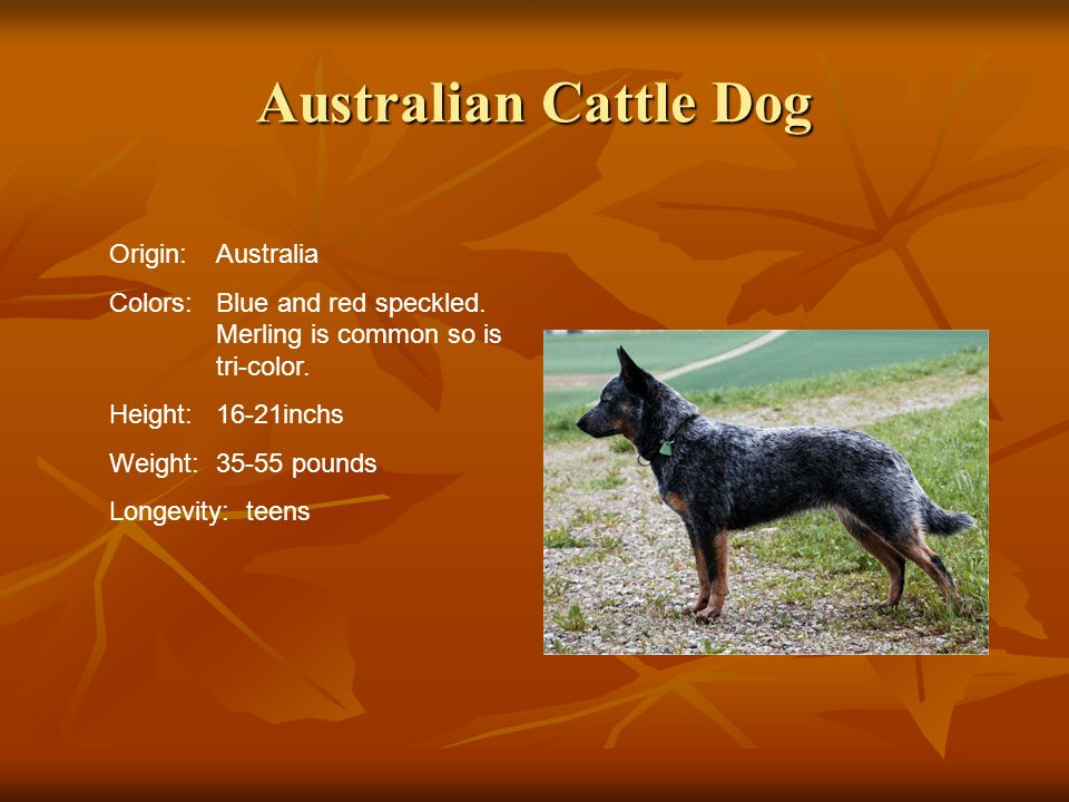 Australian Cattle Dog Origin:Australia Colors:Blue and red speckled. Merling is common so is tri-color. Height:16-21inchs Weight:35-55 pounds Longevit