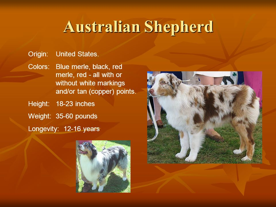 Australian Shepherd Origin:United States. Colors:Blue merle, black, red merle, red - all with or without white markings and/or tan (copper) points. He