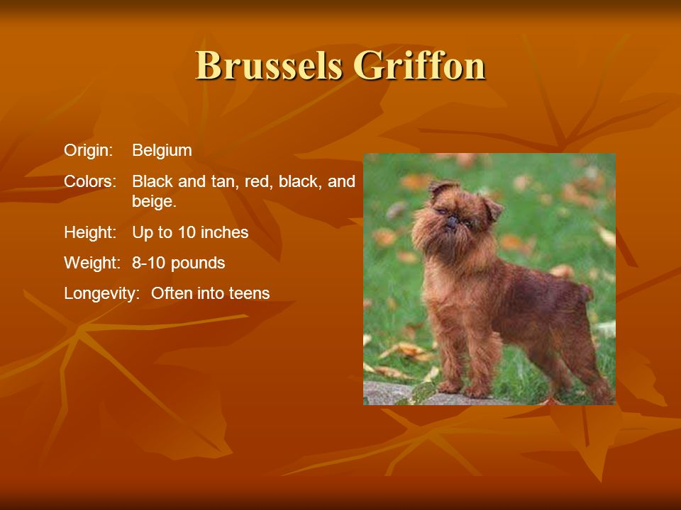 Brussels Griffon Origin:Belgium Colors:Black and tan, red, black, and beige. Height:Up to 10 inches Weight:8-10 pounds Longevity: Often into teens