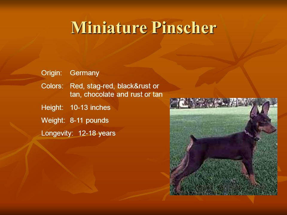 Miniature Pinscher Origin:Germany Colors:Red, stag-red, black&rust or tan, chocolate and rust or tan Height:10-13 inches Weight:8-11 pounds Longevity: