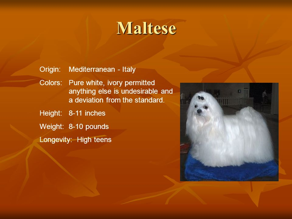 Maltese Origin:Mediterranean - Italy Colors:Pure white, ivory permitted anything else is undesirable and a deviation from the standard. Height:8-11 in