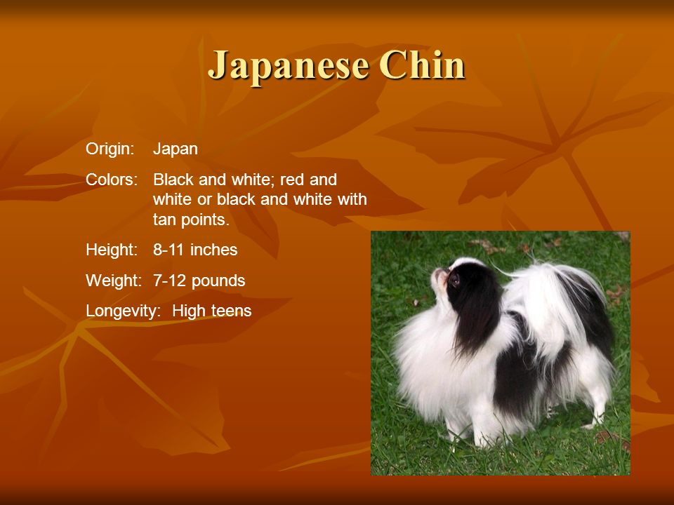Japanese Chin Origin:Japan Colors:Black and white; red and white or black and white with tan points. Height:8-11 inches Weight:7-12 pounds Longevity: