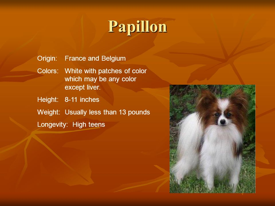 Papillon Origin:France and Belgium Colors:White with patches of color which may be any color except liver. Height:8-11 inches Weight:Usually less than