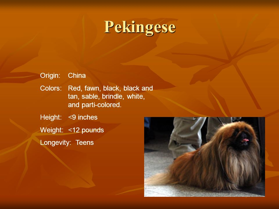 Pekingese Origin:China Colors:Red, fawn, black, black and tan, sable, brindle, white, and parti-colored. Height:<9 inches Weight:<12 pounds Longevity: