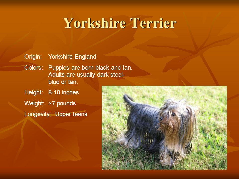Yorkshire Terrier Origin:Yorkshire England Colors:Puppies are born black and tan. Adults are usually dark steel- blue or tan. Height:8-10 inches Weigh