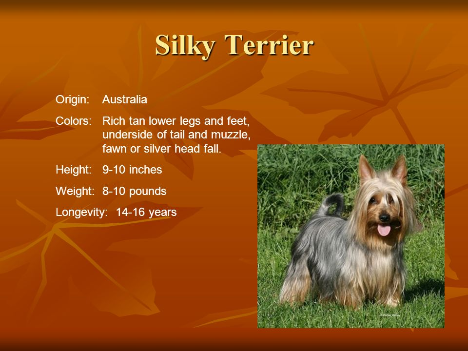 Silky Terrier Origin:Australia Colors:Rich tan lower legs and feet, underside of tail and muzzle, fawn or silver head fall. Height:9-10 inches Weight: