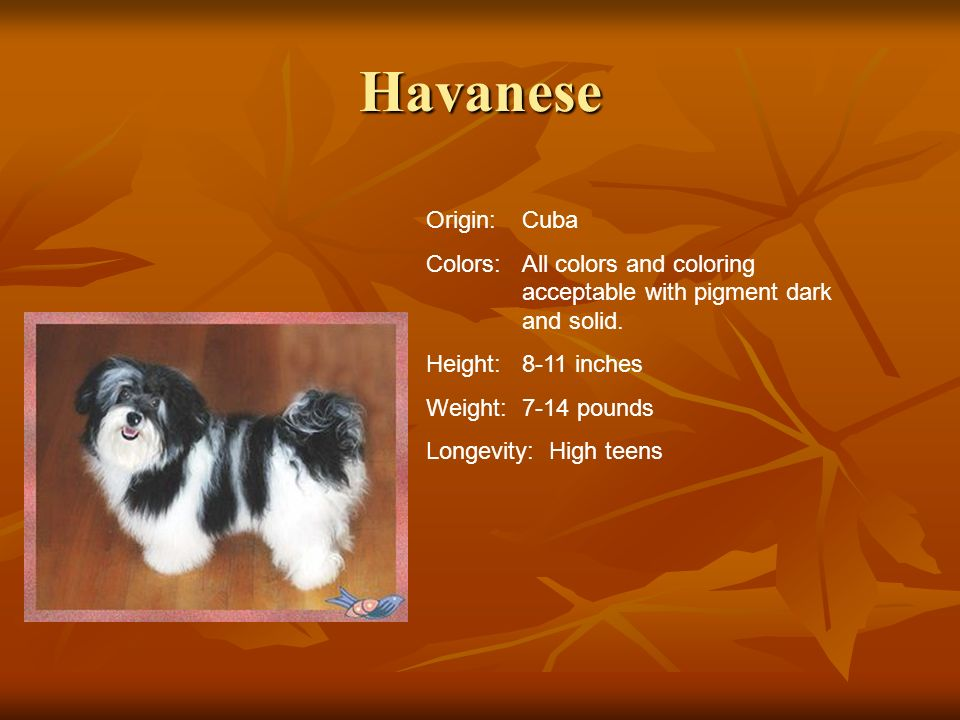 Havanese Origin:Cuba Colors:All colors and coloring acceptable with pigment dark and solid. Height:8-11 inches Weight:7-14 pounds Longevity: High teen