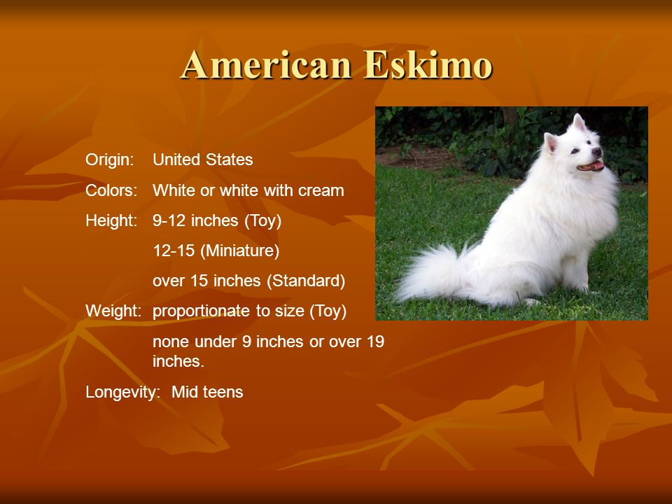 American Eskimo Origin:United States Colors:White or white with cream Height:9-12 inches (Toy) 12-15 (Miniature) over 15 inches (Standard) Weight:prop