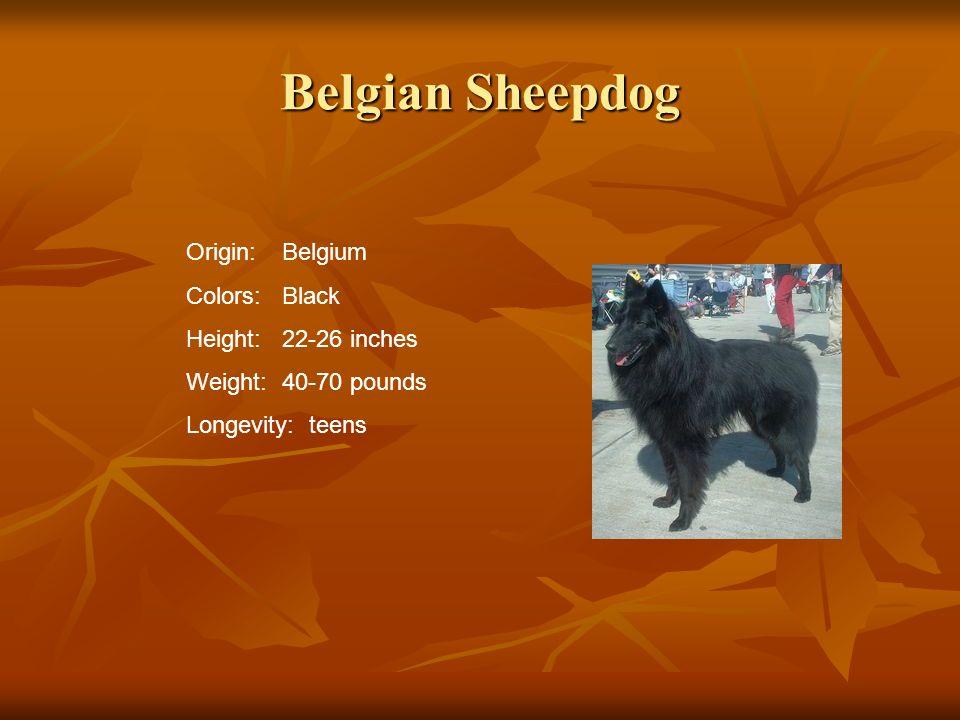 Belgian Sheepdog Origin:Belgium Colors:Black Height:22-26 inches Weight:40-70 pounds Longevity: teens
