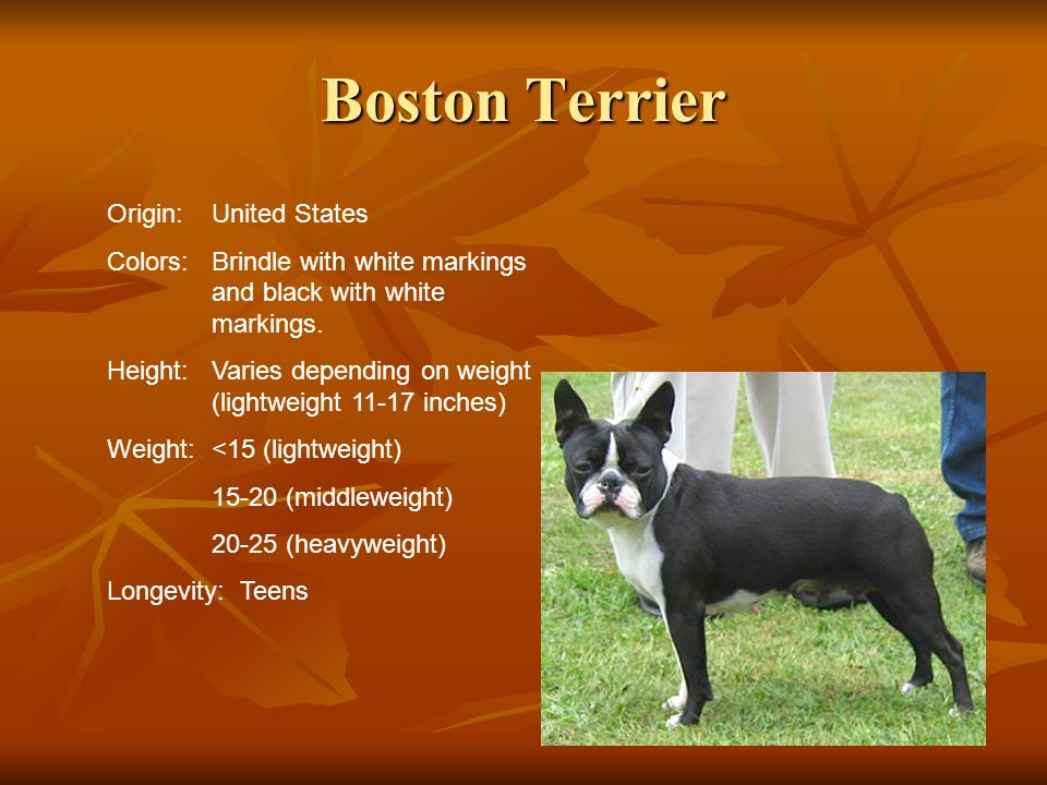 Boston Terrier Origin:United States Colors:Brindle with white markings and black with white markings. Height:Varies depending on weight (lightweight 1