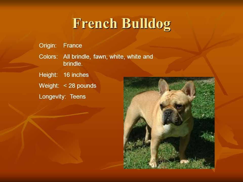 French Bulldog Origin:France Colors:All brindle, fawn, white, white and brindle. Height:16 inches Weight:< 28 pounds Longevity: Teens