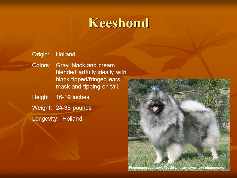 Keeshond Origin:Holland Colors:Gray, black and cream blended artfully ideally with black tipped/fringed ears, mask and tipping on tail. Height:16-19 i