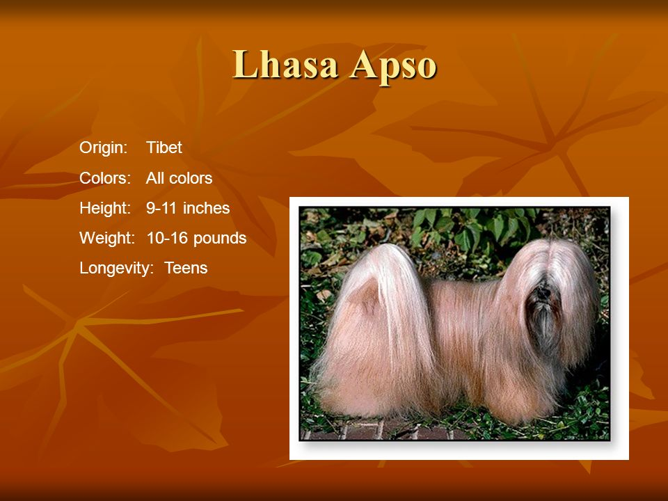Lhasa Apso Origin:Tibet Colors:All colors Height:9-11 inches Weight:10-16 pounds Longevity: Teens