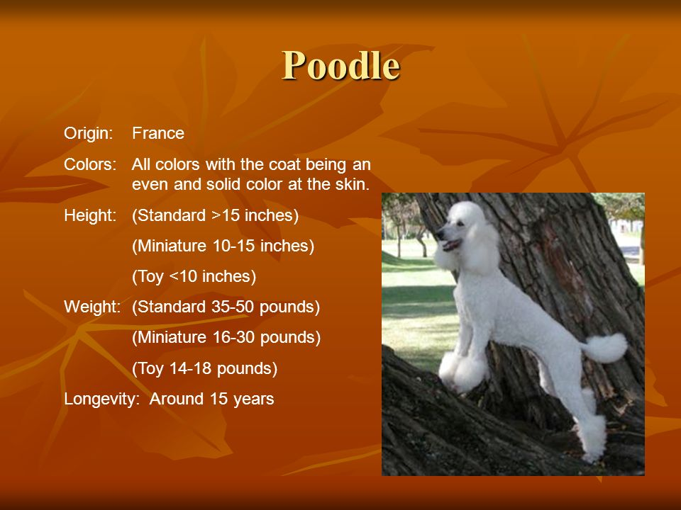 Poodle Origin:France Colors:All colors with the coat being an even and solid color at the skin. Height:(Standard >15 inches) (Miniature 10-15 inches)
