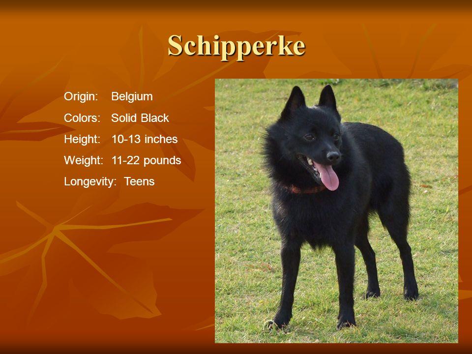 Schipperke Origin:Belgium Colors:Solid Black Height:10-13 inches Weight:11-22 pounds Longevity: Teens