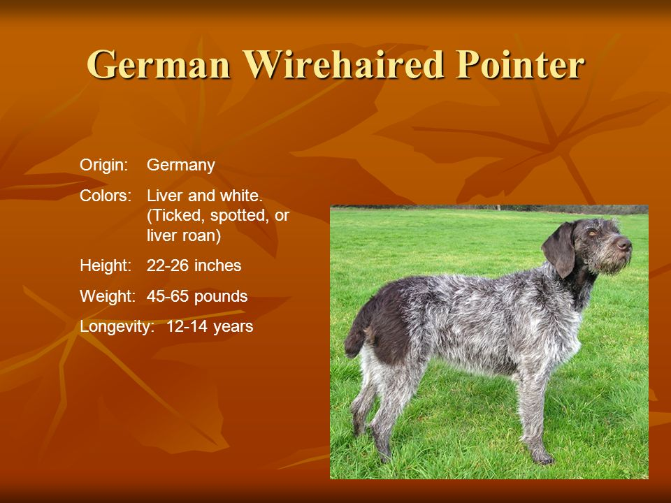 German Wirehaired Pointer Origin:Germany Colors:Liver and white. (Ticked, spotted, or liver roan) Height:22-26 inches Weight:45-65 pounds Longevity: 1