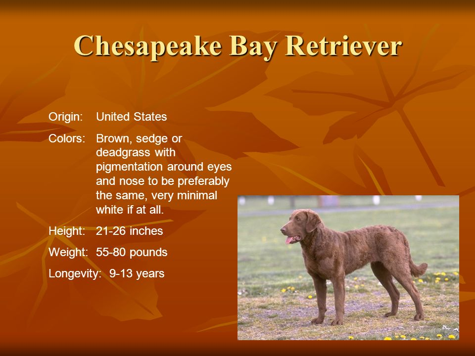 Chesapeake Bay Retriever Origin:United States Colors:Brown, sedge or deadgrass with pigmentation around eyes and nose to be preferably the same, very