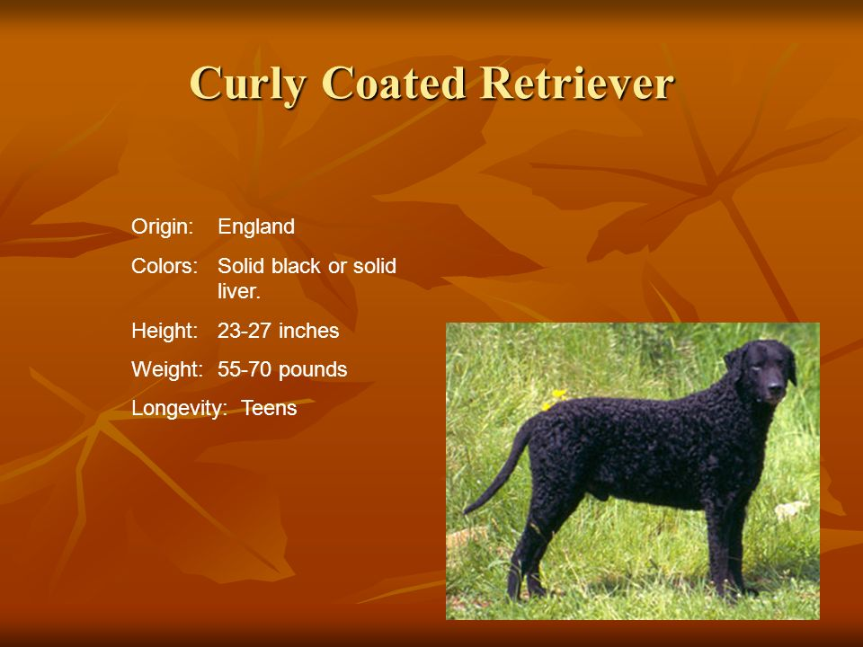 Curly Coated Retriever Origin:England Colors:Solid black or solid liver. Height:23-27 inches Weight:55-70 pounds Longevity: Teens