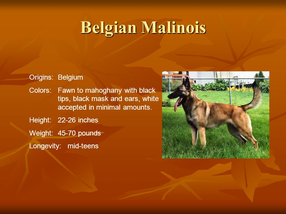 Belgian Malinois Origins: Belgium Colors:Fawn to mahoghany with black tips, black mask and ears, white accepted in minimal amounts. Height:22-26 inche
