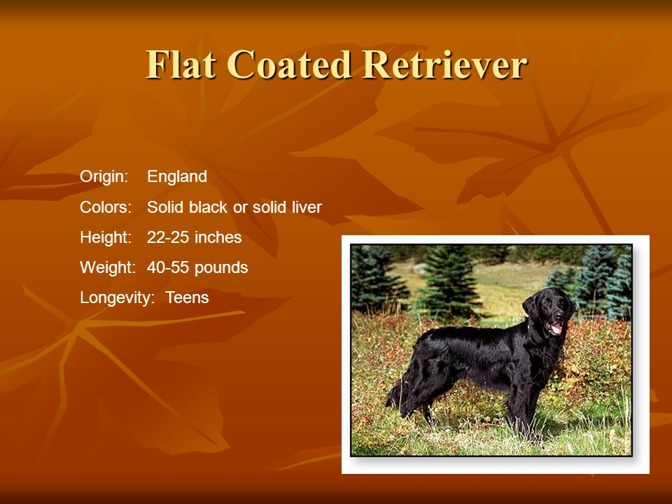 Flat Coated Retriever Origin:England Colors:Solid black or solid liver Height:22-25 inches Weight:40-55 pounds Longevity: Teens