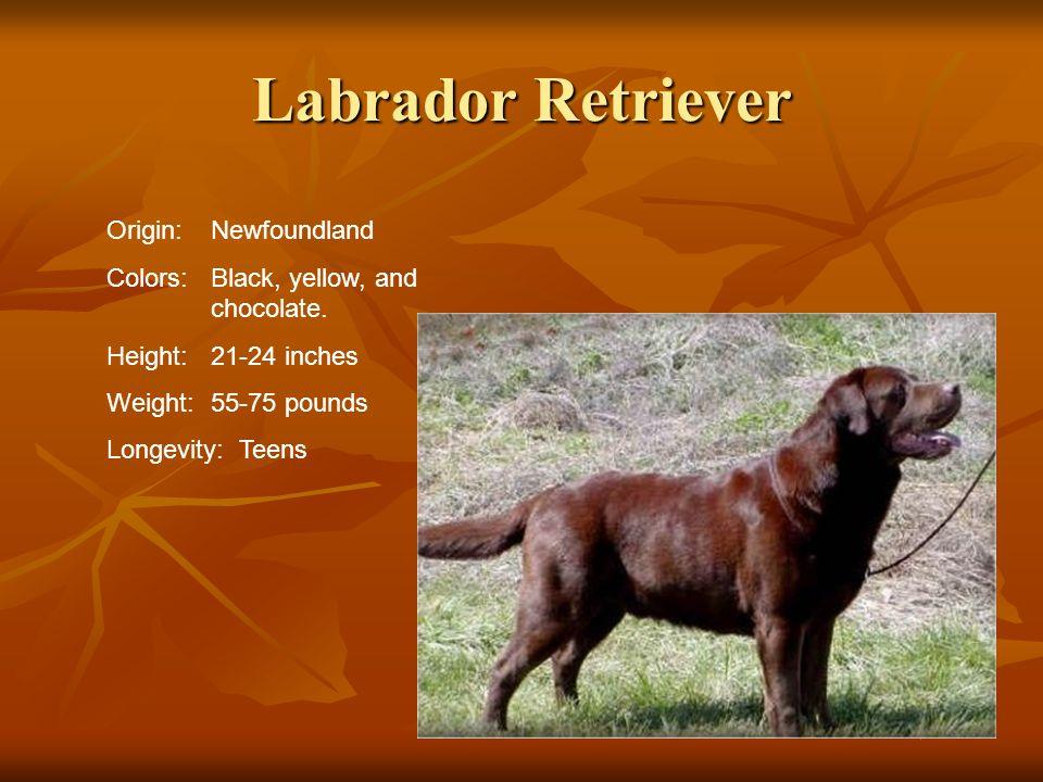 Labrador Retriever Origin:Newfoundland Colors:Black, yellow, and chocolate. Height:21-24 inches Weight:55-75 pounds Longevity: Teens