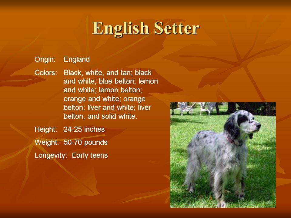 English Setter Origin:England Colors:Black, white, and tan; black and white; blue belton; lemon and white; lemon belton; orange and white; orange belt