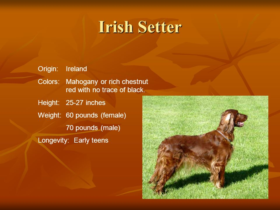 Irish Setter Origin:Ireland Colors:Mahogany or rich chestnut red with no trace of black. Height:25-27 inches Weight:60 pounds (female) 70 pounds (male
